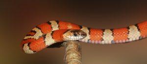 נחשים לא ארסיים – הכירו את הנחשים שרק נראים מפחידים