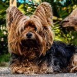 כל מה שרציתם לדעת על כלב טרייר טיבטי